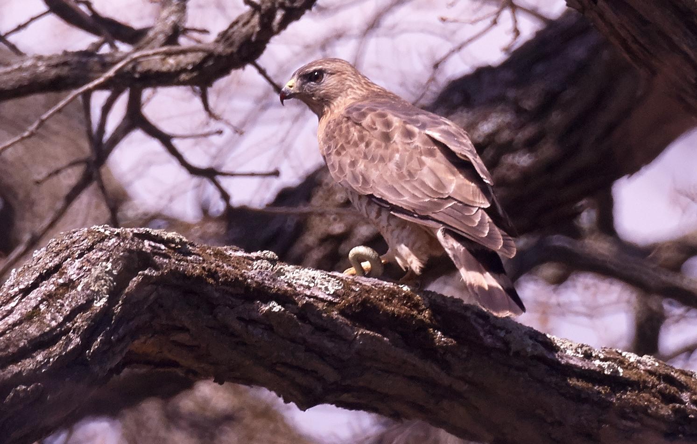 Hawk -DSC_9224