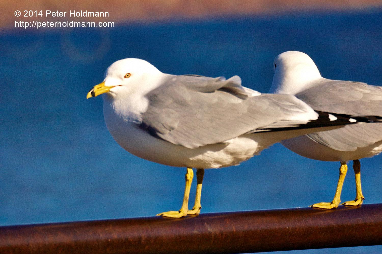 gulls--DSC_9003