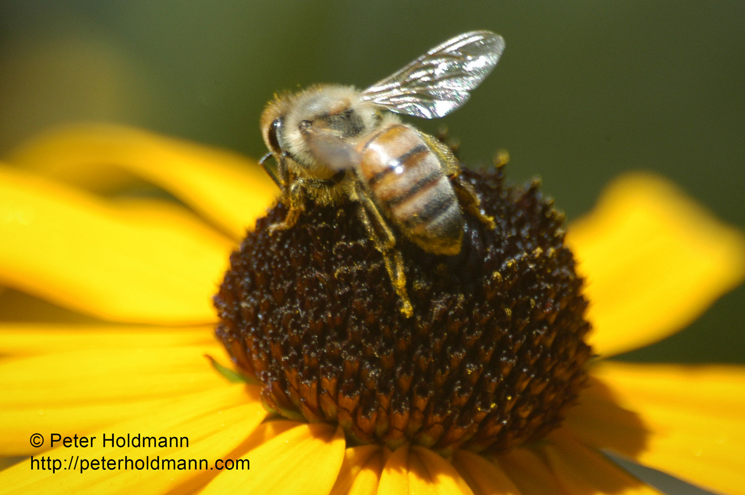 macro-bee-on-flower1